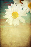 Grungy daisy Royalty Free Stock Photography