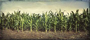 Grungy panorama of young corn plants in a field Stock Photo