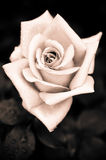 Grungy pink rose with water drops at vintage gothic style backgr Royalty Free Stock Photo