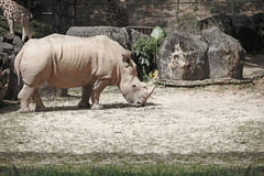 Grungy Rhinoceros. Stock Images