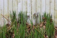 Grungy verwitterter weißer Zaun mit getrocknetem und frischem Gras Lizenzfreie Stockbilder