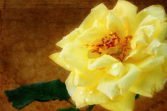Grungy Yellow Rose Royalty Free Stock Photography