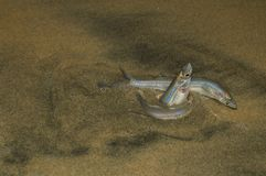 Grunions Photographie stock