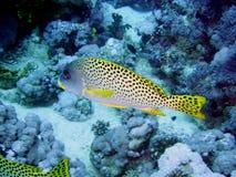 grunt рыб многоточий Стоковое Изображение