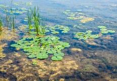 Grunt damm med alger och liljablock Arkivfoton