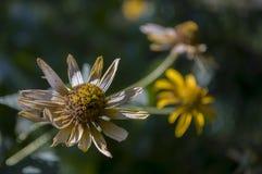 Grunt djup av fältet Trädgårds- gul blomma 1 livstid fortfarande Torr ört Höst Arkivbild