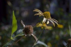 Grunt djup av fältet Trädgårds- gul blomma 1 livstid fortfarande Torr ört Höst Royaltyfri Fotografi