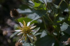 Grunt djup av fältet Trädgårds- gul blomma 1 livstid fortfarande Torr ört Höst Arkivbilder
