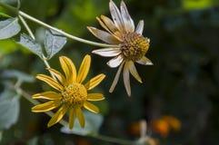 Grunt djup av fältet Trädgårds- gul blomma 1 livstid fortfarande Torr ört Höst Royaltyfri Bild