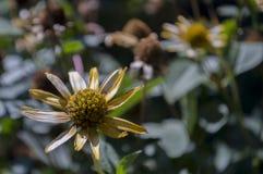 Grunt djup av fältet Trädgårds- gul blomma 1 livstid fortfarande Torr ört Höst Arkivfoton