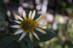 Grunt djup av fältet Trädgårds- gul blomma 1 livstid fortfarande Torr ört Höst Arkivfoto