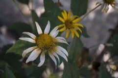 Grunt djup av fältet Trädgårds- gul blomma 1 livstid fortfarande Torr ört Höst Royaltyfri Foto