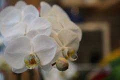 Grunt djup för vita orkidér av fältet Arkivbild