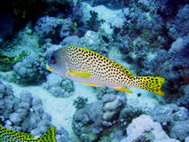 grunt Fish with dots  Stock Image
