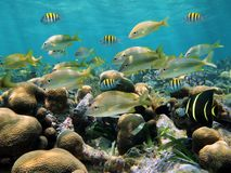 Grunt fish over a coral reef. School of tropical fish in a shallow coral reef, Caribbean sea Royalty Free Stock Image