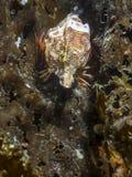 Grunt Sculpin Rhamphocottus richardsonii stock images