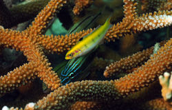 Grunt and yellow wrasse with staghorn coral Stock Photo