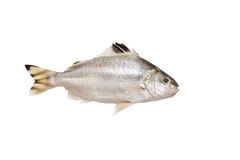 Grunter fish isolated on white background. Royalty Free Stock Images