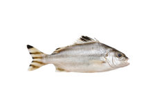Grunter fish isolated on white background. Grunter fish isolated on white background with clipping path Royalty Free Stock Photo