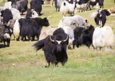 Grunting ox Stock Photos