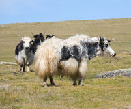 Grunting ox Royalty Free Stock Photo