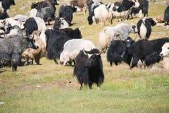 Grunting ox Stock Image
