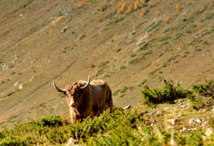 Grunting ox in Caucasus Royalty Free Stock Image