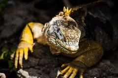 Gruntowa iguana Zdjęcie Royalty Free