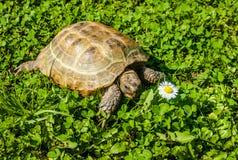 Gruntowy tortoise wśród jaskrawego - zielona trawa słonecznym dniem Zdjęcia Stock