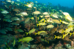 Grunts on a reef Stock Image