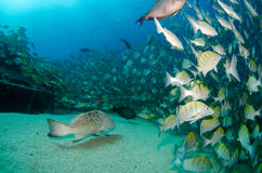 Grunts and snappers. Stock Images