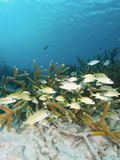 Grunts in staghorn coral thicket Stock Photos