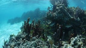 Grunts Swim Around Caribbean Coral Reef stock footage