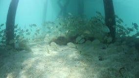 Grunts Swimming Below Jetty in Caribbean stock video
