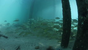 Grunts Swimming Below Pier in Caribbean stock video