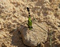 Gruntujący dragonfly Zdjęcie Stock