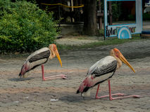 Gruop of a yellow-billed storks Stock Photography
