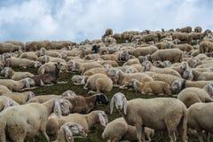 Grup av sheeps Royaltyfria Foton