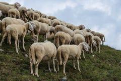 Grup of sheeps Royalty Free Stock Photos