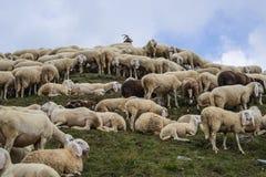 Grup of sheeps Stock Photos