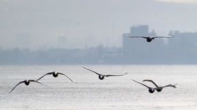 Grupa łabędź latać Obrazy Royalty Free