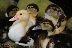 Grupa śliczne małe gąski, jeden jest brzydkim kaczką w różnym kolorze obraz stock