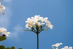 Grupa żółci biali kwiaty Frangipani, Plumeria, z nat Zdjęcie Royalty Free