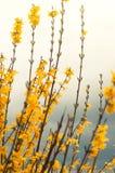 Grupa żółte forsycje kwitnie w kierunku niebieskiego nieba w ogródzie w wiosna dniu obraz stock