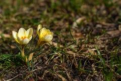 Grupa żółty krokus Fotografia Royalty Free