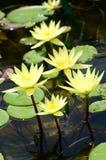Grupa żółty lotos w stawie Obraz Royalty Free