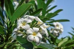 Grupa żółtych i białych kwiatów Frangipani, Plumeria Obrazy Stock