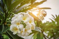 Grupa żółtych i białych kwiatów Frangipani, Plumeria Zdjęcia Royalty Free