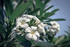 Grupa żółtych i białych kwiatów Frangipani, Plumeria Zdjęcie Royalty Free