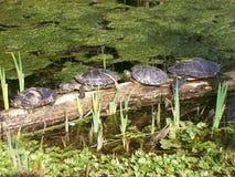 Grupa żółwie Obraz Stock